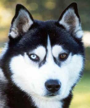 Reshmi Siberian Husky