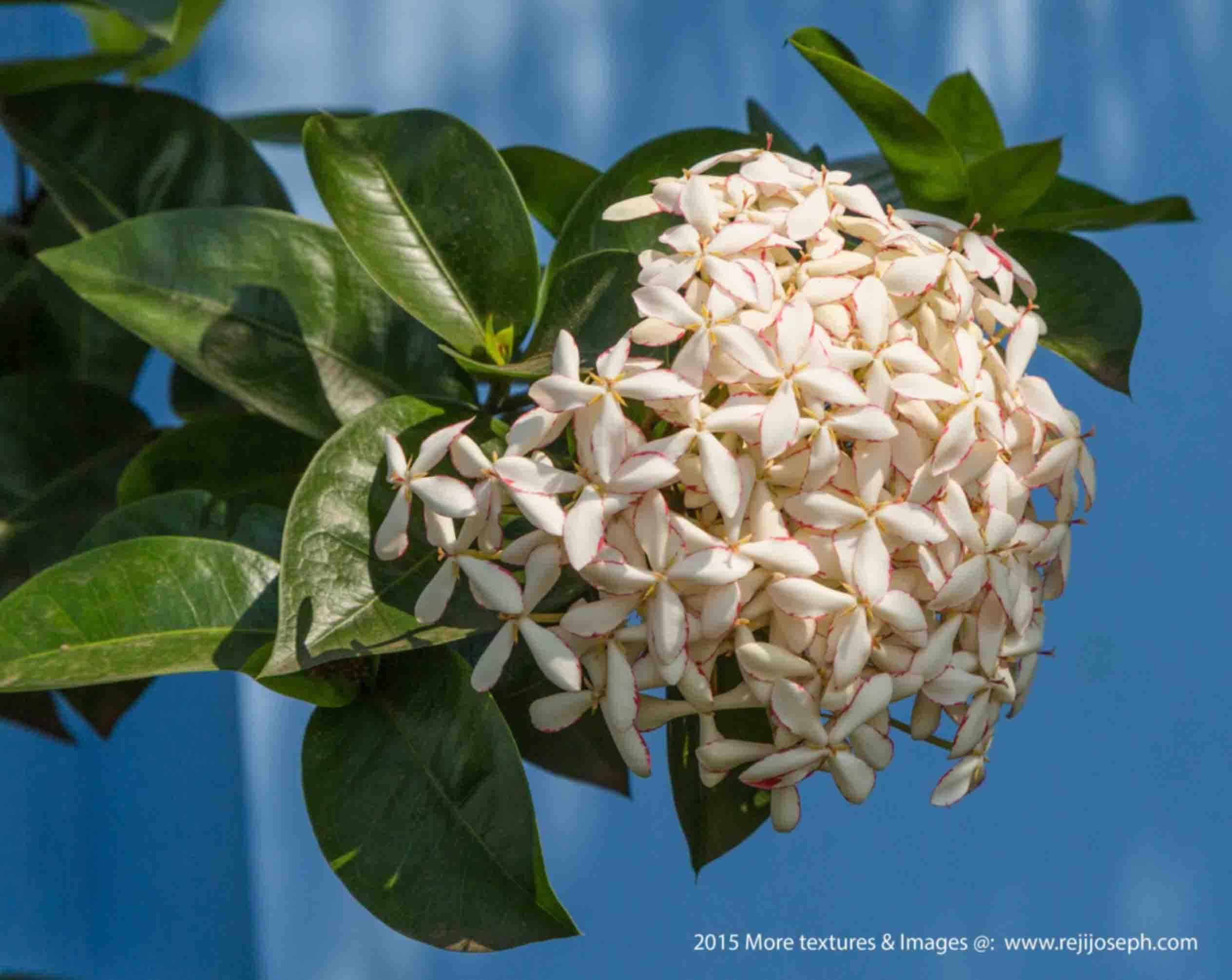 Ixora coccinea flower 00004