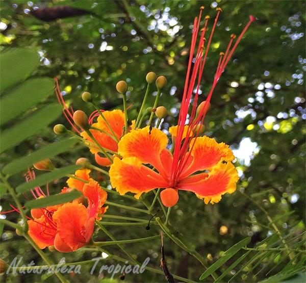 Variedad matizada de la flor de la especie Caesalpinia pulcherrima, pequeño flamboyant.