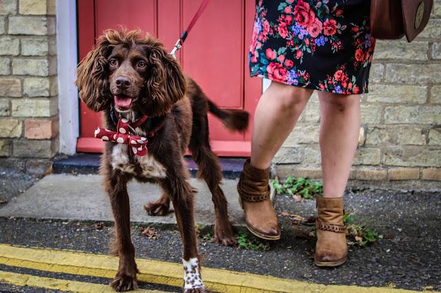 springer spaniel rescue hound