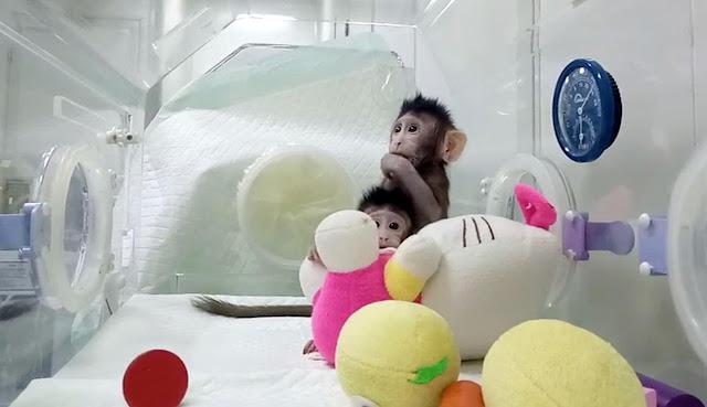 Wah...Ilmuan ini Sukses Kloning Monyet! Lantas Apakah Manusia Bakal Dikloning Juga