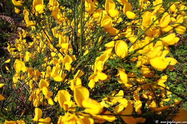 Genêt à balais (Cytisus scoparius) en fleurs, (C) greg Clouzeau