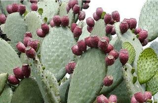 Kaktüs Meyvesinin Kullanım Alanları
