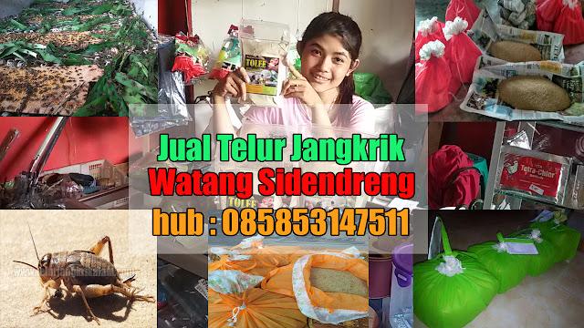 Jual Telur Jangkrik Watang Sidenreng Hubungi 085853147511