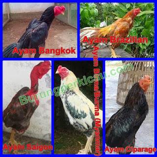 ayam aduan terpopuler saat ini