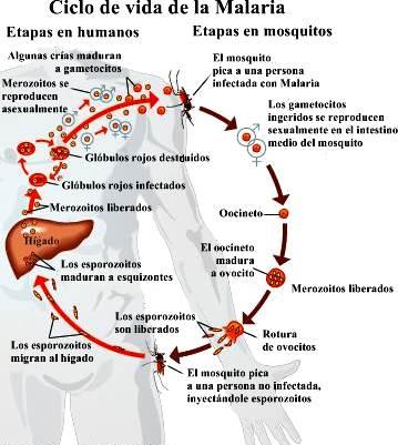 ciclo de vida de un parásito de la malaria