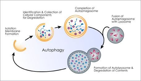 apa itu autophagy, lawan kanser dengan berpuasa