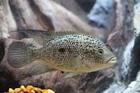 ternak ikan nila, perjuangan ikan nila, urusan ekonomi ikan nila, urusan ekonomi ternak ikan nila, ikan nila, harga ikan nila