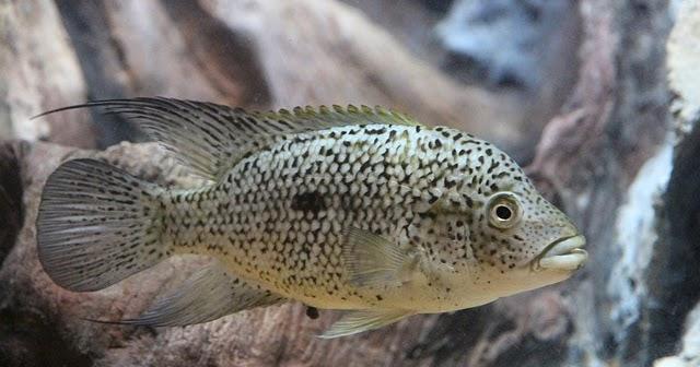 Keuntungan Bisnis Ternak Ikan Nila Dan Harga Per Kilogramnya Investasi Untung