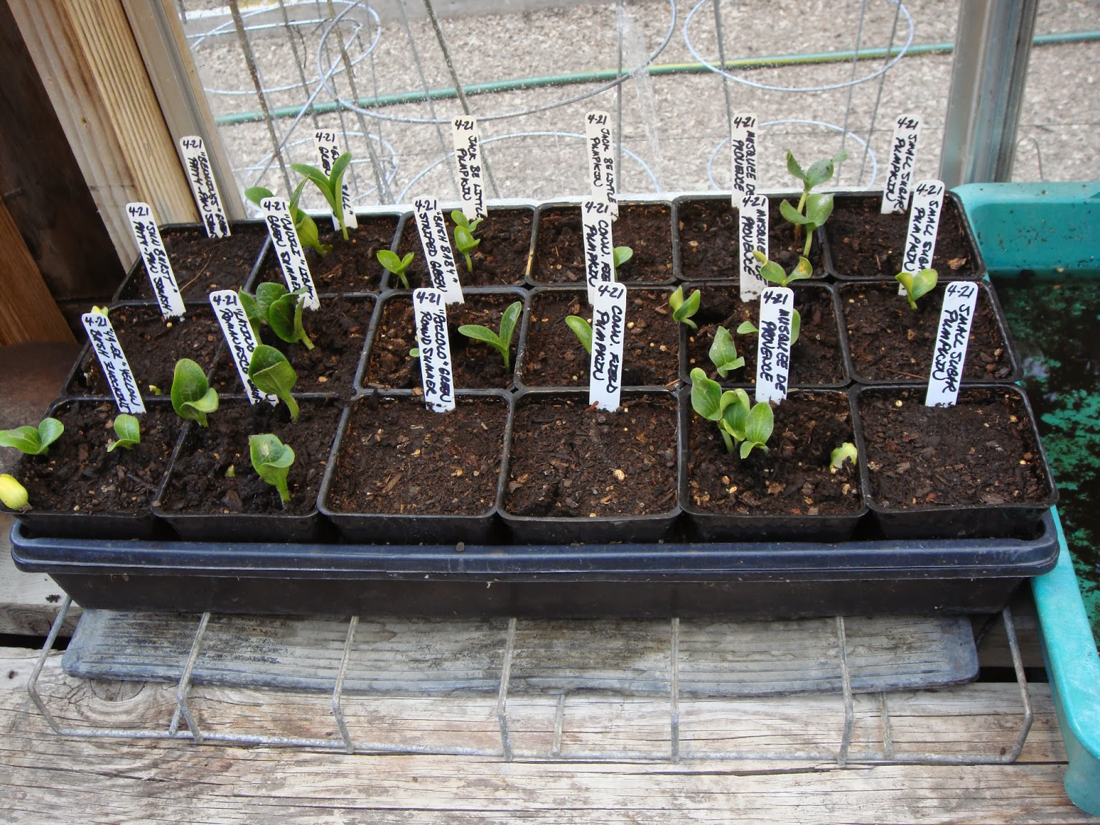 Squash Seedlings Sprouting in The Garden Oracle's Greenhouse.  The Squash Plants in This Photo are About One Week Old from the Date of Sowing, and Have Been Sown with Four Seeds in Each Three Inch Pot (one in Each Quadrant) to Conserve Space on the Heat Mat.  After a Few Weeks They Will be Able to be Planted Out in Hills as a Cluster (Recommended), or They can be Carefully Divided Up in Another Week or Two into Individual Pots and Grown on For Planting out Separately. Use Caution as Plants in the Cucurbit Family (Zuchinni, Summer Squash, Winter Squash, Cucumbers, Pumpkins and Gourds) are a bit Sensitive to Root Damage and can Also get Root Bound Quickly in Small Pots.  Set Plants a Bit Deeper in the Ground than in The Pots to Encourage a Larger Root System when Planting Out.  Make Sure to Check Out the Large Assortment of Squash Seeds Available Through the Vegetable Seeds Tab at the Top of this Site.
