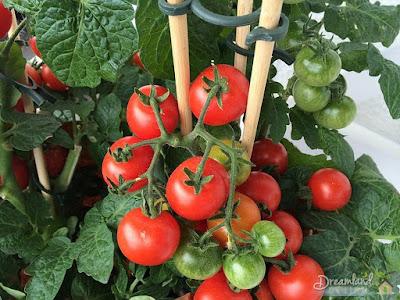 Tiny Tim tomatoes