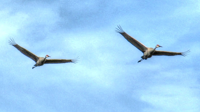 Sandhill Cranes Flying and Calling