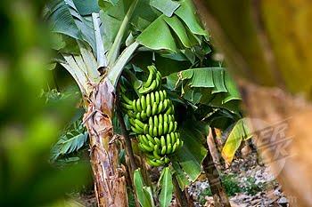 David Shea S Eoi Blog Banana English English Banana