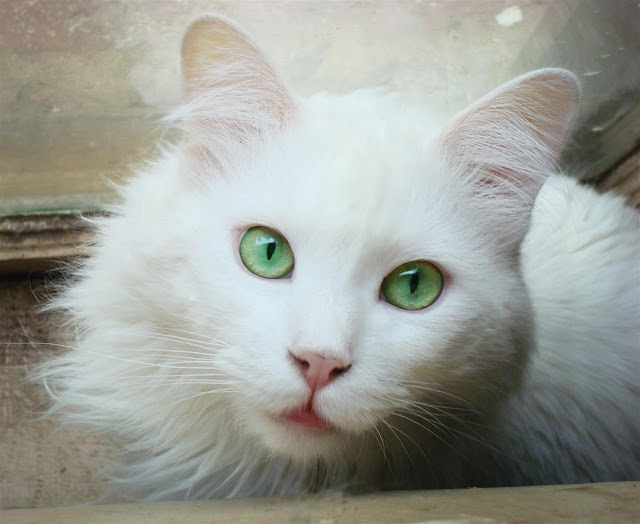 Deaf Cats Different Eye Color