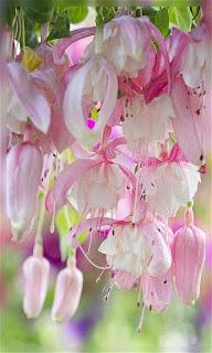 Flores colgantes rosas fondos wallpaper para teléfono móvil resolución 480x800