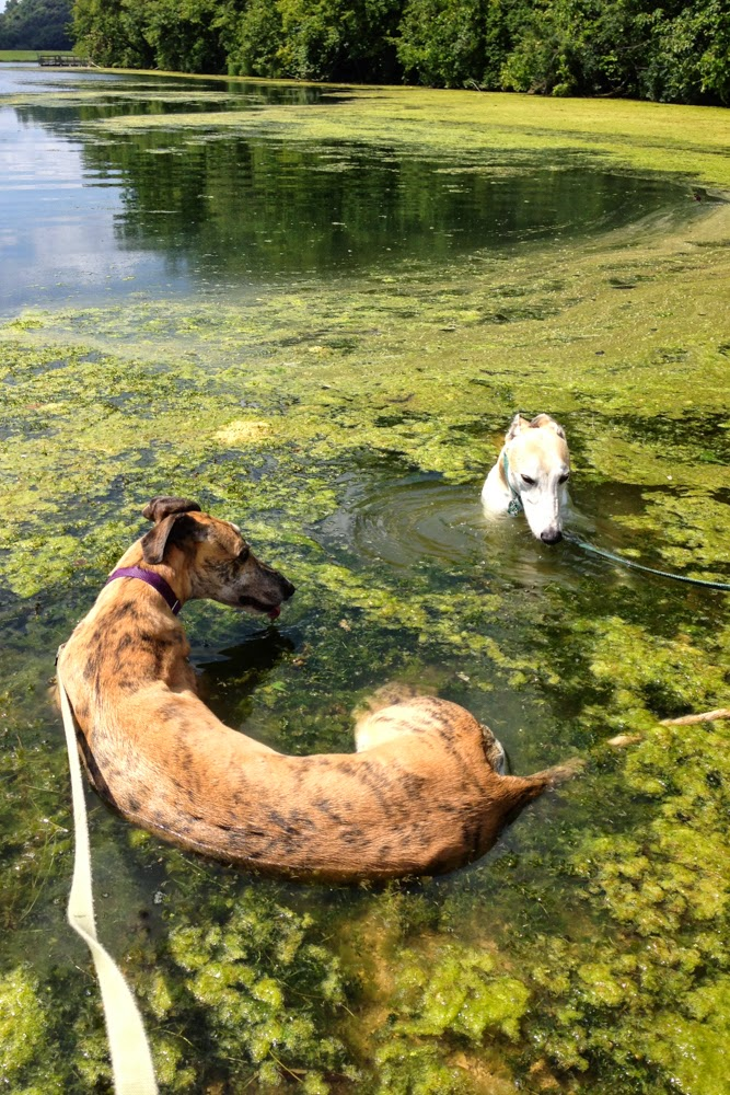 Greyhounds in the water, Anne Butera, My Giant Strawberry