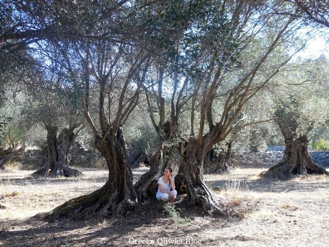 Gaik oliwny. Kobieta w białym ubraniu siedzi pod drzewem oliwnym. Grecja.