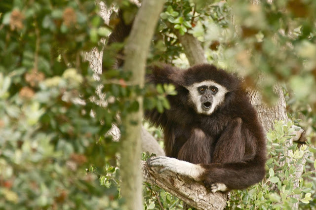 Last common ancestor of apes was about the size of a gibbon