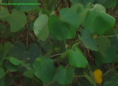 tulang daun melengkung