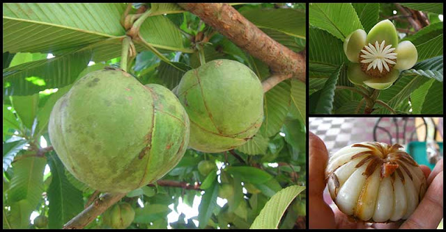 Health Benefits And Traditional Uses Of Elephant Apple (Katmon)