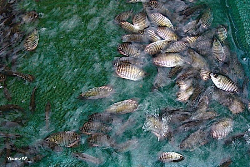 budidaya ikan gurame di kolam terpal
