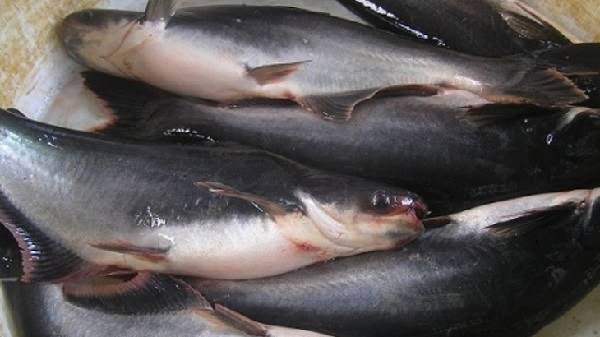 Analisis Lengkap Peluang Usaha Budidaya Ikan Patin Di Kolam Terpal Yang Menguntungkan