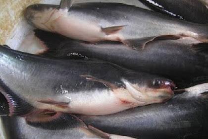 Peluang Usaha Dan Analisa Lengkap Budidaya Ikan Patin Di Kolam Terpal Agar Dapat Keuntungan Yang Menggiurkan