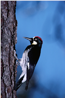 Woodpeckers Facts, Amazing Animals Woodpeckers Facts, Woodpeckers Facts Amazing Fact