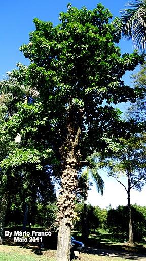castanha-de-macaco, cuíca-de-macaco, árvore-de-macaco, macacarecuia, amêndoa-dos-andes