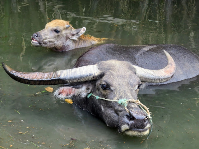 Mother and baby water buffalo in the water near Hoi An Vietnam