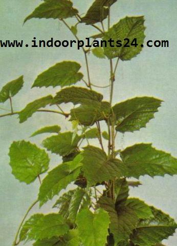 ClSSUS ANTARCTICA Vitadacae KANGAROO VINE PLANT