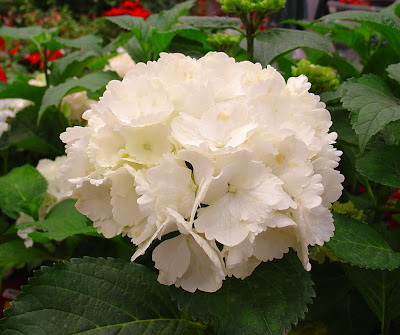 white hydrangeas - http://photography-passions.blogspot.com