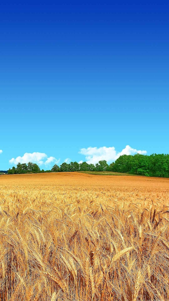 Wheat Field Clear Blue Sky  Galaxy Note HD Wallpaper