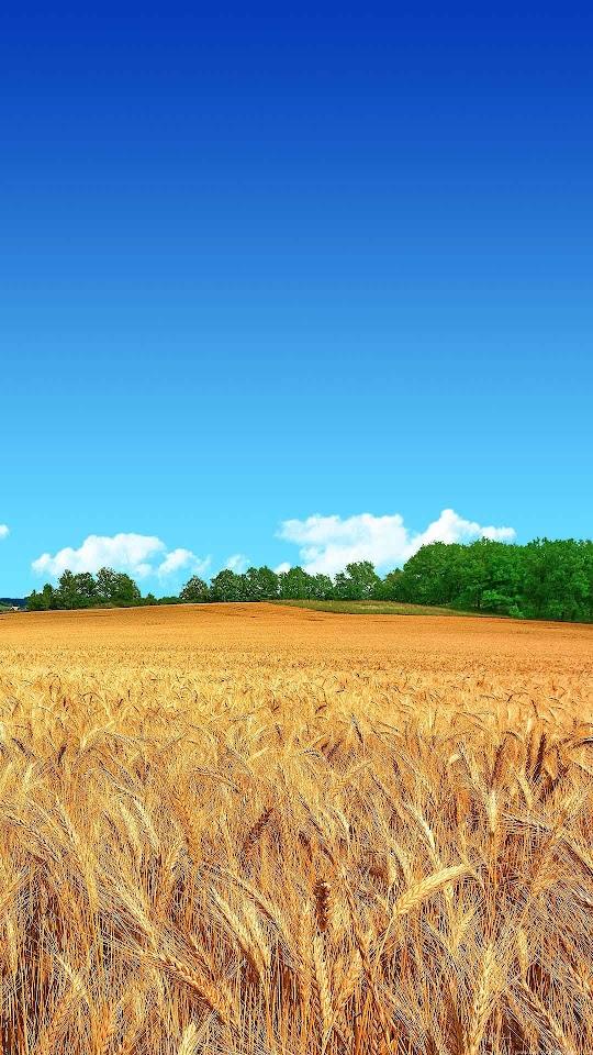 Wheat Field Clear Blue Sky  Galaxy Note HD Wallpaper