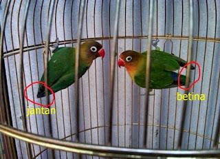 Cara Membedakan Ciri-ciri Burung Lovebird Jantan dan Betina, Cara Membedakan Lovebird Jantan Dan Betina Umur 2 - 3 Bulan, 10 Perbedaan ciri jantan dan betina burung lovebird kacamata ala yuli solo