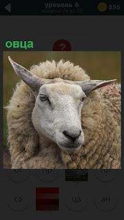 Изображение обыкновенной овцы на пастбище