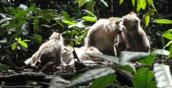 Ubud Holy Monkey Forest - Tohpati, Batubulan, Celuk, Mas, Ubud, Gianyar, Bali, Indonesia