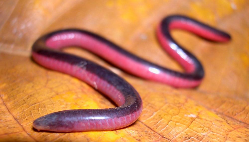 Amphibians: Measey-S-vittatus