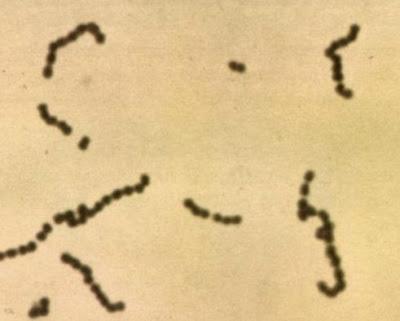 Bakteri Asam Laktat