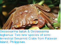 http://sciencythoughts.blogspot.co.uk/2016/11/geosesarma-batak-geosesarma-tagbanua.html