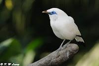 Burung Cantik Jalak Bali