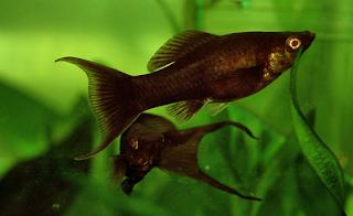 Budidaya Ikan Hias Molly