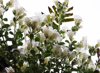 Becerrillla, Linaria origanifolia (Chaenorhinum origanifolium)