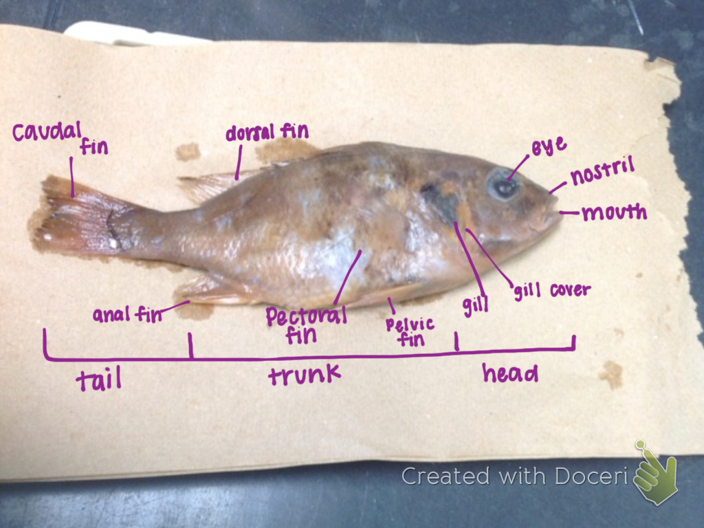 Bio Nerds How To Dissect A Fish