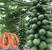 pawpaw farming in Kenya