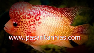 Type Ikan Hias Louhan indonesia Super Red Texas
