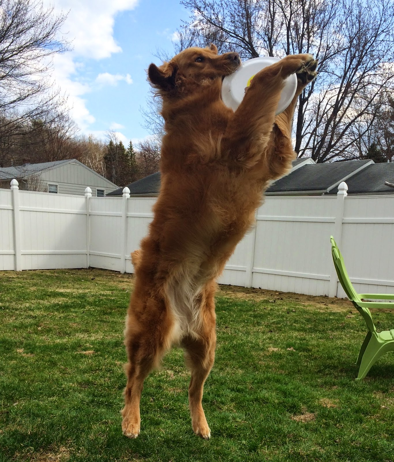 golden retriever catching frisbee