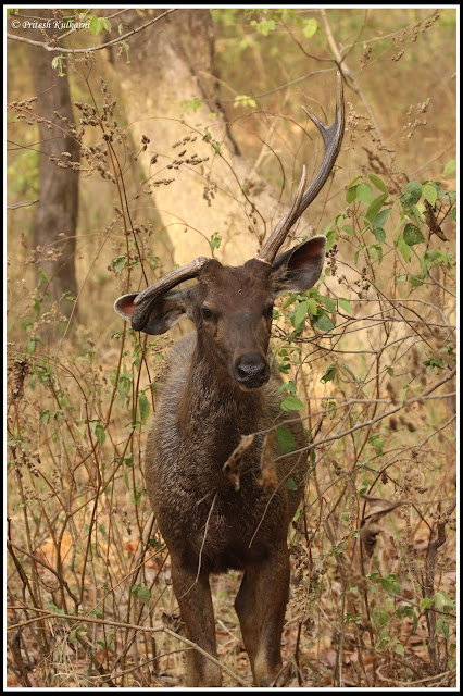 Survival of the Fittest, Sambar deer at Kanha National Park