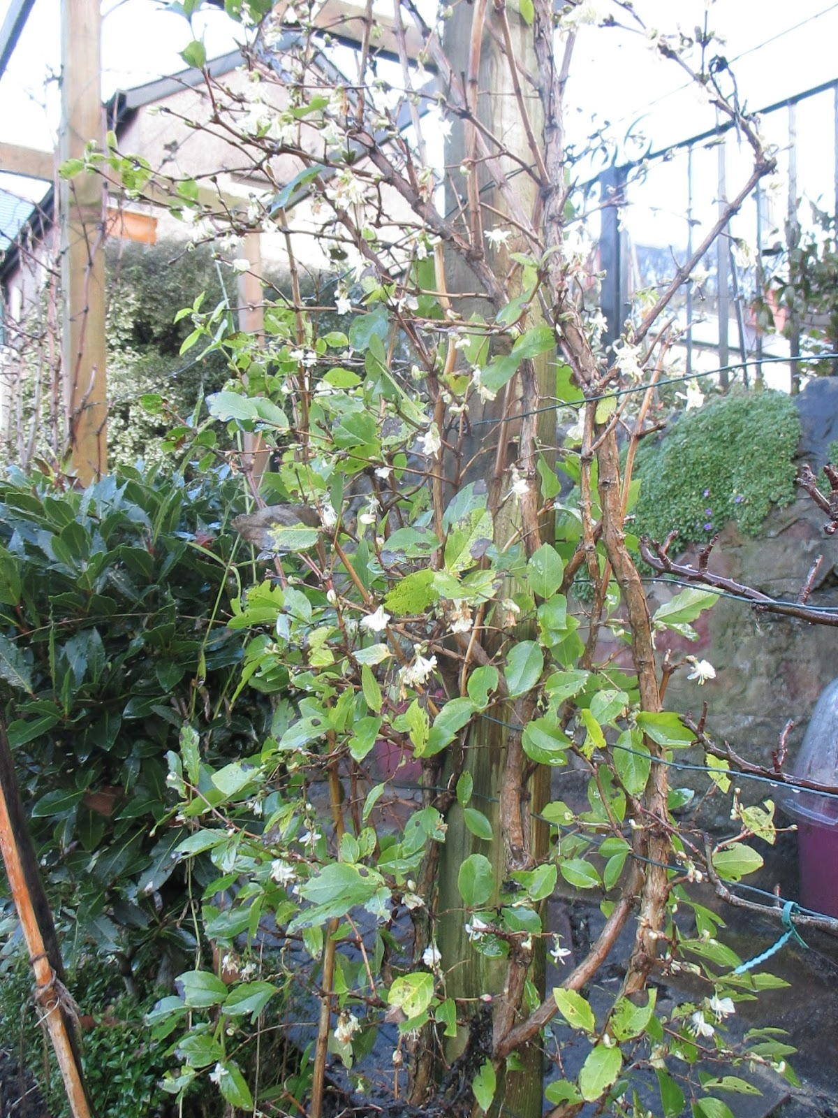 The Green Fingered Blog 5 Scented Shrubs To Make Your Winter