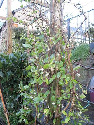 Lonicera fragrantissima scented winter shrub Green Fingered Blog